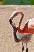 Adult And Baby Flamingo