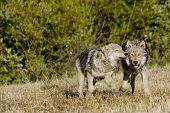 stock photo of north american gray wolf  - Wolves display bonding rituals in North America - JPG