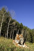 Siberian Tiger lays down by the forest edge