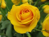 Yellow Rose With Green Leaves In Background