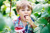 Cute Little Kid Picking Fresh Berries On Raspberry Field. Child Pick Healthy Food On Organic Farm. L poster