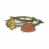 Isolated Clipart Of Plant Camelina Sativa On White Background. Botanical Drawing Of Herb False Flax  poster