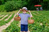 Happy Adorable Little Kid Boy Picking And Eating Strawberries On Organic Berry Bio Farm In Summer, O poster