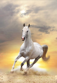foto of wild horse running  - white stallion galloping in dust in a sunset - JPG