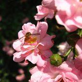 Microlife. Rosebush With Bee Gathering Pollen.