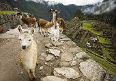 Llama Train at Machu Picchu, Peru