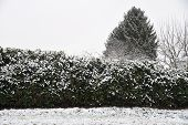 Snow-covered Cherry Laurel And Lawn - Winter Shows Up With Snow In The Garden poster