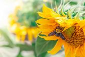 Oneybee Collects Pollen From Sunflower. Nature Background With Yellow Flower And Bee Macro. Summer N poster