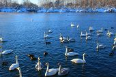 In Winter, Beautiful Swans Swim On The Ice-free Lake. Place Of Wintering Swans, Altai, Siberia. Swan poster
