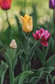 Yellow Tulip Among Many Multi-colored Tulips With Green Leaf Background, Personality And Concept Dif poster