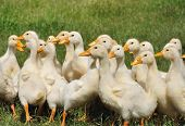 stock photo of groping  - grope of anxious ducklings on the grass - JPG