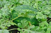 pic of cucurbitaceous  - big green stripy watermelon on the field - JPG