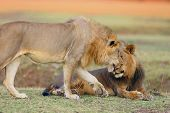 Southern Lion (panthera Leo Melanochaita) Also Eastern-southern African Lion Or Eastern-southern Afr poster
