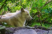 Closeup Portrait Of A White Wolf Laying On The Ground, Wild Dog Specie From The Forests Of Eurasia poster