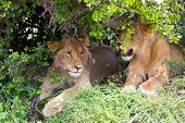 Two young lionesses rest in the shade of a bush in the savannah. Kenya, Masai Mara Park. Jeep - safa poster