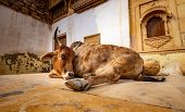 Cow on street in India. Constitution of India mandates the protection of cows. Rajasthan, India. poster