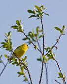 American Goldfinch On Branch