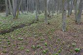 early spring forest with spring snowflake, Vysocina, Czech Repubic poster