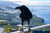 Smart Black Canary Crow Or Raven Bird, Not Afraid Of People, Sitting On Beautiful Viewpoint On La Pa poster