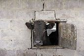 Cow Looking Out From Window Of Shed On Red Brick Wall. Livestock Concept. Livestock Farm. Cow Living poster
