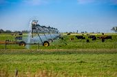 A Central Pivot Irrigation Sprinkler System Is Seen Watering A Green Pasture Filled With Cattle Unde poster