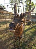 foto of 24th  - A raindeer looking for food on the farm - JPG