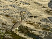 Tricilored Heron