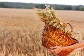 Basket Full Of Ripe Spikelets Of Wheat In Woman Hands