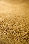 Barley for beer