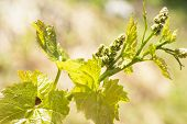 Young Sprout Of Grapes On A Sunny Day. Young Grapes With Flowering Tassels, Young Shoots Of Grape Ma poster