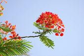 Gulmohar bloemen op blauwe hemel