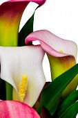 White and pink calla lilies (alcatraz flower)