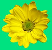 Isolated yellow chrysanthemum flower