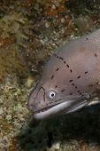 Grey moray