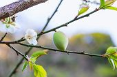 Chinese Plum Fruit