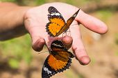 Leopard Lacewing Schmetterling