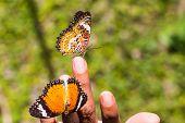 Leopard Lacewing Schmetterling