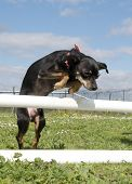 picture of miniature pinscher  - purebred miniature pinscher in a training of agiity - JPG