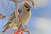 Bright bird Waxwing on a Rowan branch. Winter.