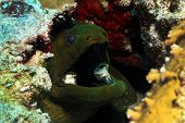 Green Moray Close-up