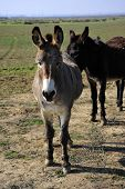 image of jack-ass  - Donkeys are part of the animal population on this California farm - JPG
