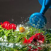 Watering colorful flowers with blue can