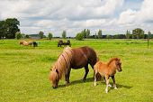 Pony in the meadows in agriculture landscape