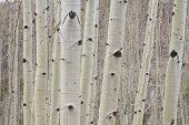 Winter Aspen Tree Forest