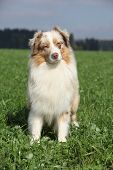 Beautiful Australian Shepherd In Nature