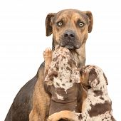 image of catahoula  - Isolated Louisiana Catahoula dog which is scared of parenting two puppies - JPG