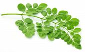 picture of moringa oleifera  - Clsoe up of edible moringa leaves over white background - JPG