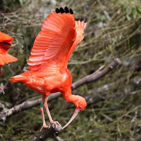 stock photo of scarlet ibis  - Details of a perched scarlet ibis in captivity - JPG