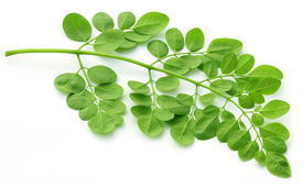pic of malunggay  - Clsoe up of edible moringa leaves over white background - JPG
