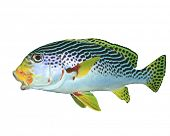 Spotted Sweetlips fish isolated on white background
